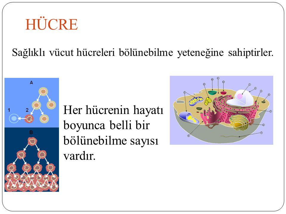 HÜCRE Her hücrenin hayatı boyunca belli bir bölünebilme sayısı vardır.