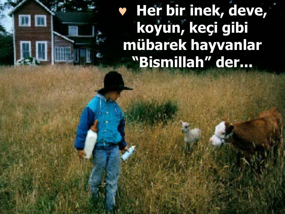  Her bir inek, deve, koyun, keçi gibi mübarek hayvanlar Bismillah der...