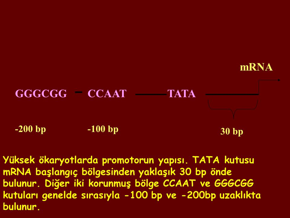 mRNA GGGCGG CCAAT TATA -200 bp -100 bp 30 bp