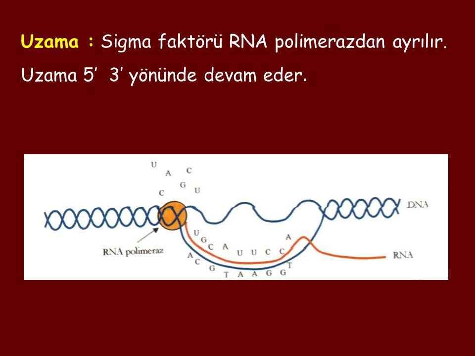 Uzama : Sigma faktörü RNA polimerazdan ayrılır.