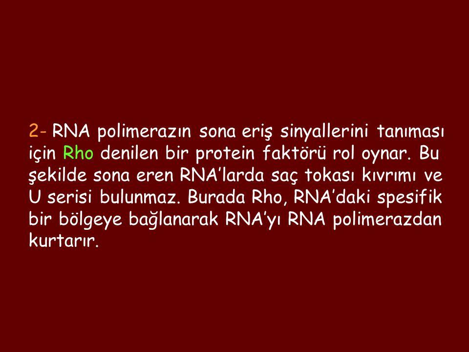 2- RNA polimerazın sona eriş sinyallerini tanıması için Rho denilen bir protein faktörü rol oynar.