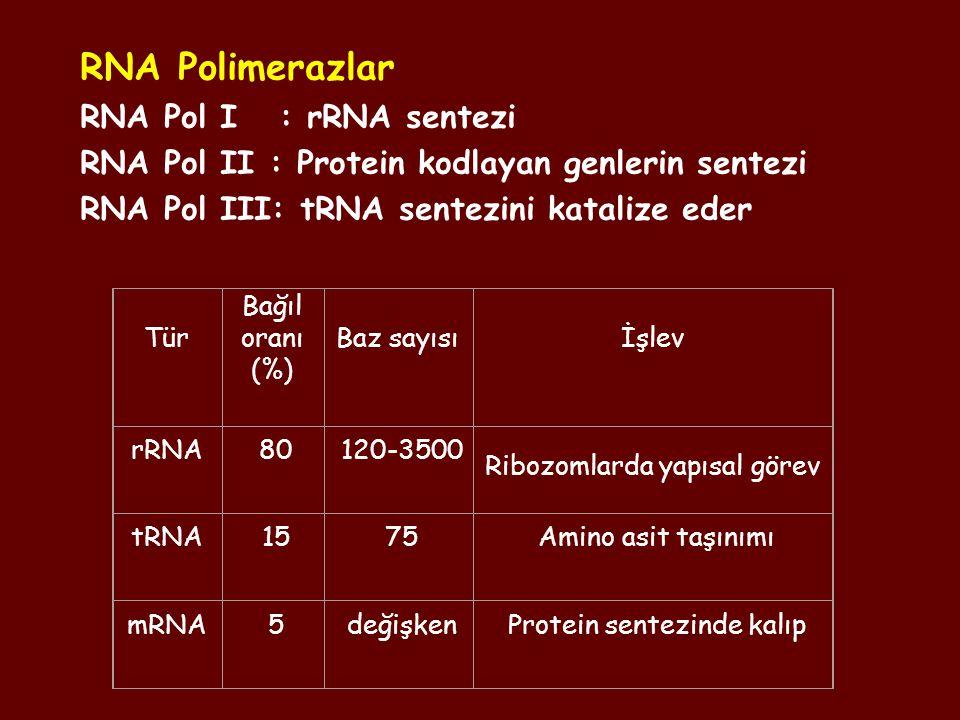 RNA Polimerazlar RNA Pol I : rRNA sentezi