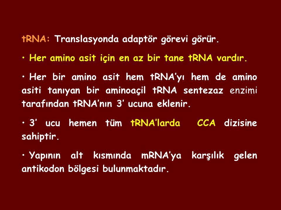 tRNA: Translasyonda adaptör görevi görür.
