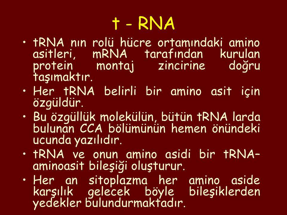 t - RNA tRNA nın rolü hücre ortamındaki amino asitleri, mRNA tarafından kurulan protein montaj zincirine doğru taşımaktır.