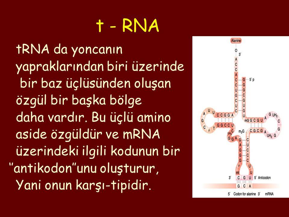 t - RNA tRNA da yoncanın yapraklarından biri üzerinde