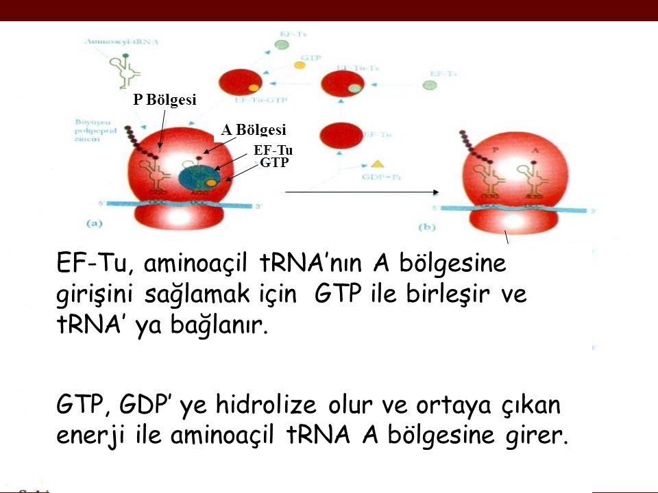 P Bölgesi A Bölgesi. EF-Tu. GTP. EF-Tu, aminoaçil tRNA'nın A bölgesine girişini sağlamak için GTP ile birleşir ve tRNA' ya bağlanır.