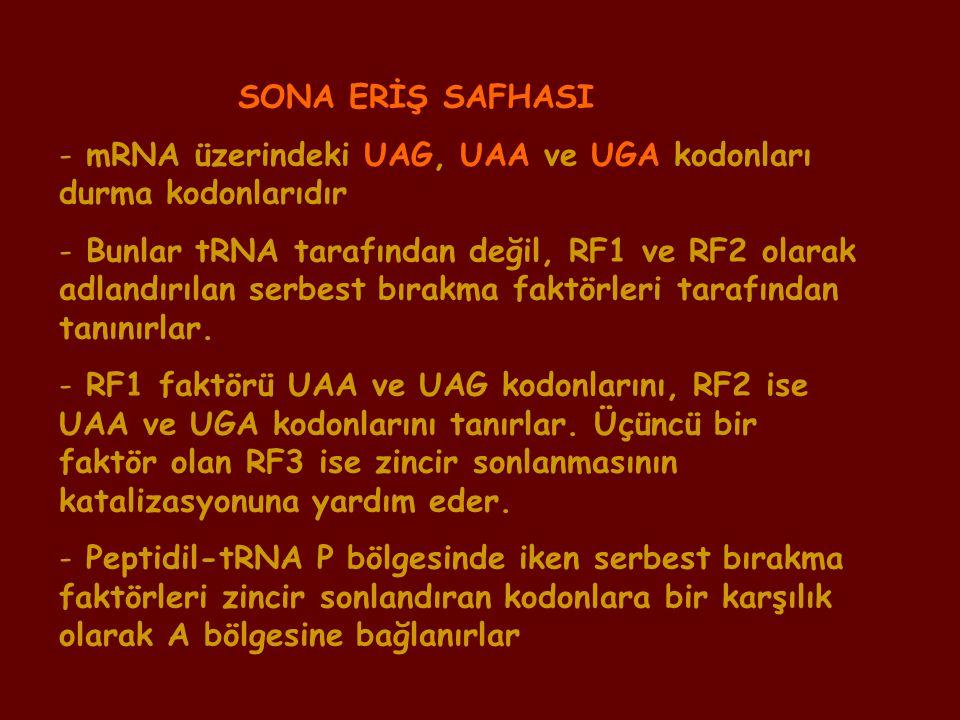 SONA ERİŞ SAFHASI mRNA üzerindeki UAG, UAA ve UGA kodonları durma kodonlarıdır.