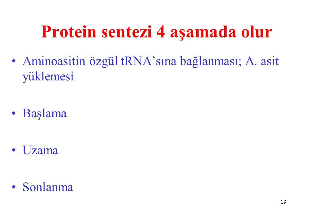 Protein sentezi 4 aşamada olur