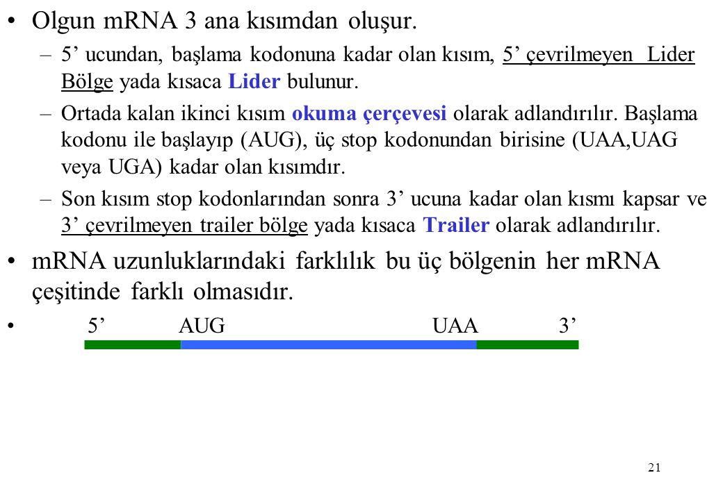 Olgun mRNA 3 ana kısımdan oluşur.