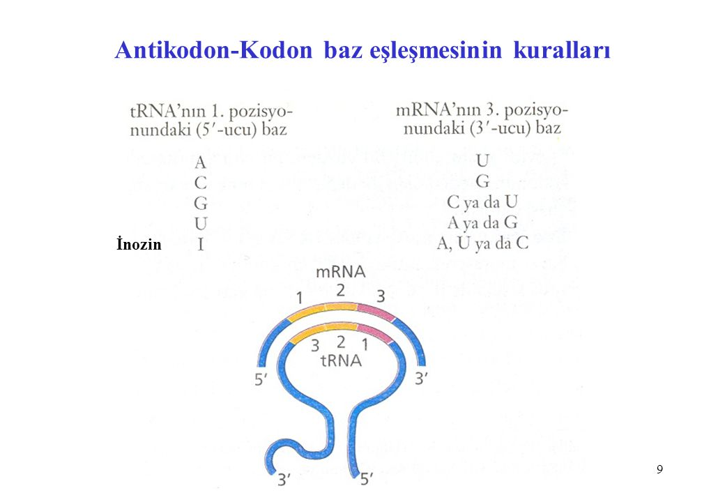 Antikodon-Kodon baz eşleşmesinin kuralları