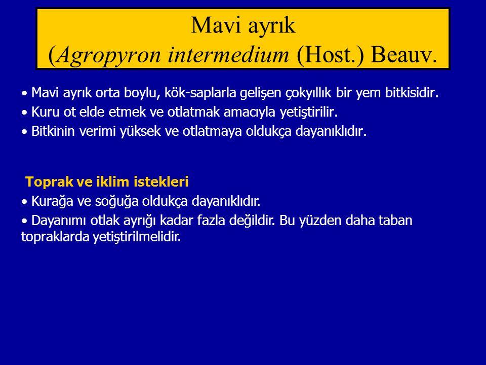 Mavi ayrık (Agropyron intermedium (Host.) Beauv.