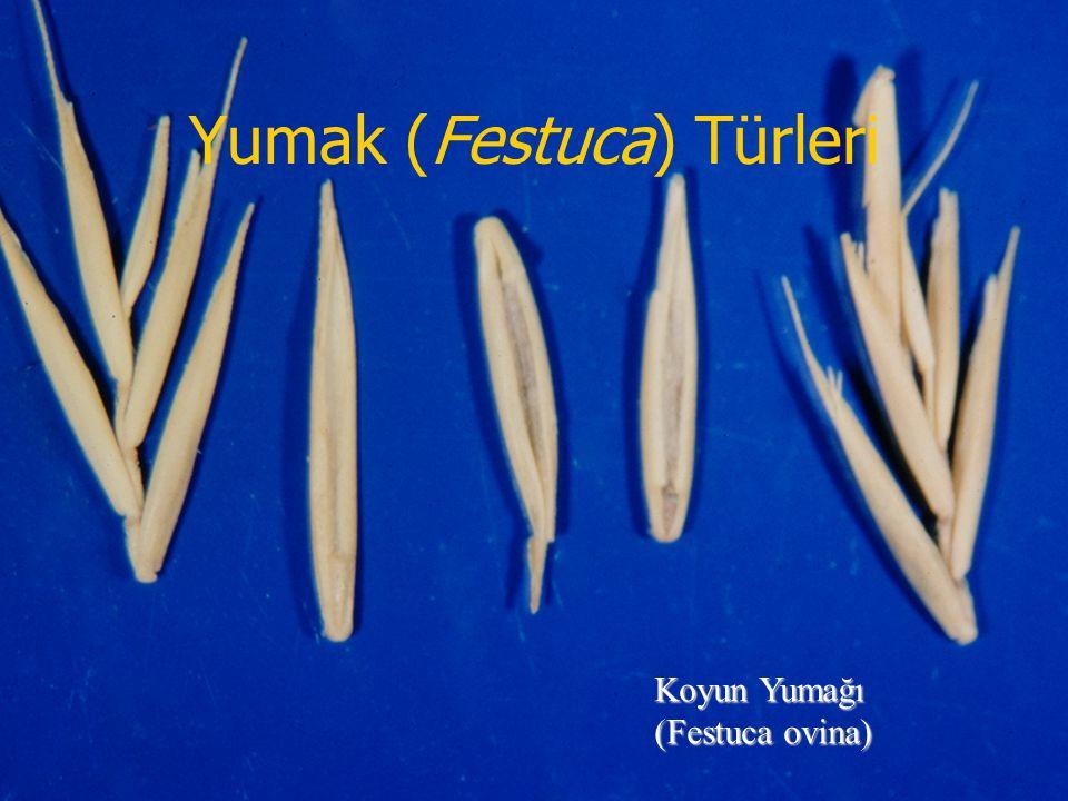 Yumak (Festuca) Türleri