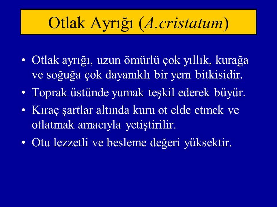 Otlak Ayrığı (A.cristatum)