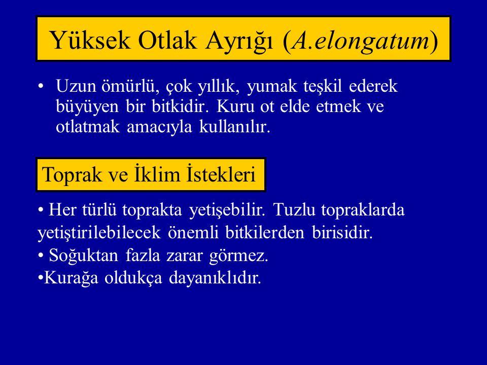 Yüksek Otlak Ayrığı (A.elongatum)