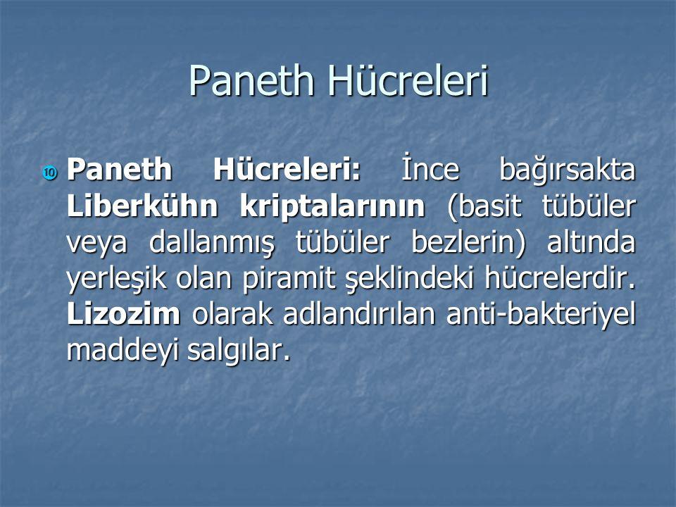 Paneth Hücreleri