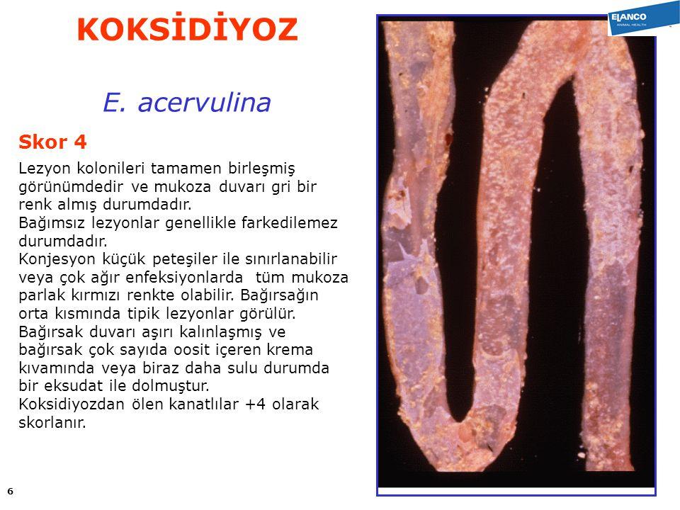 KOKSİDİYOZ E. acervulina Skor 4