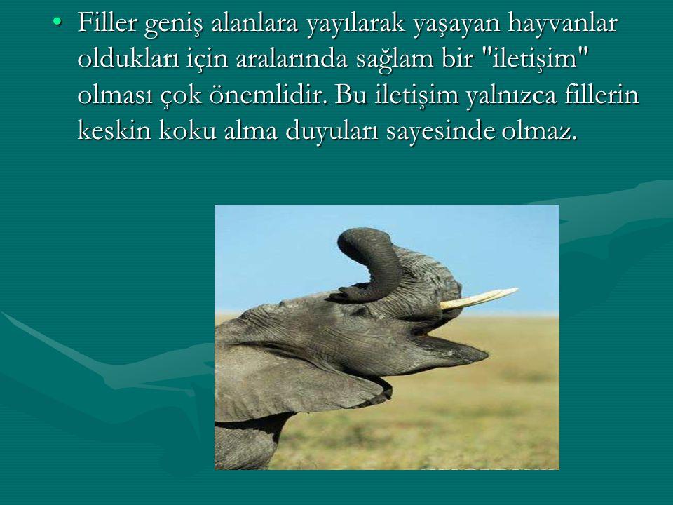 Filler geniş alanlara yayılarak yaşayan hayvanlar oldukları için aralarında sağlam bir iletişim olması çok önemlidir.