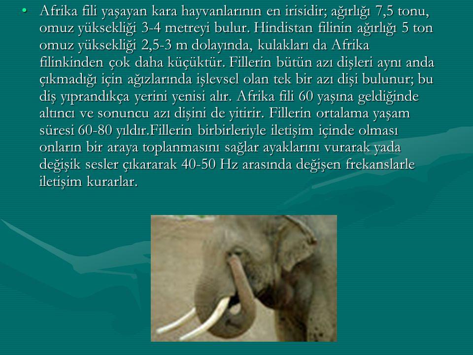 Afrika fili yaşayan kara hayvanlarının en irisidir; ağırlığı 7,5 tonu, omuz yüksekliği 3-4 metreyi bulur.