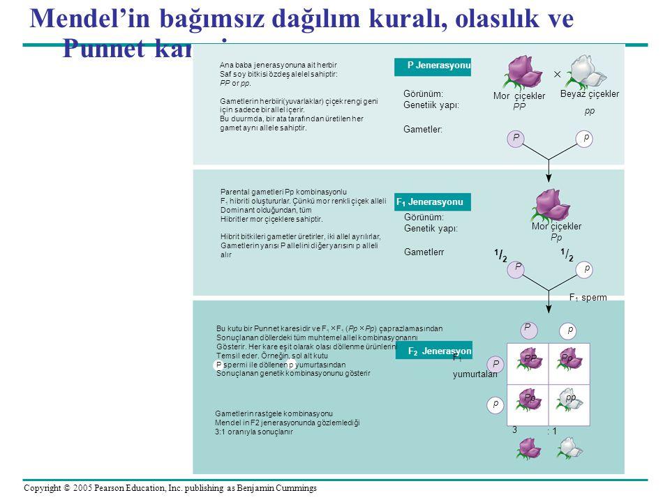 Mendel'in bağımsız dağılım kuralı, olasılık ve Punnet karesi