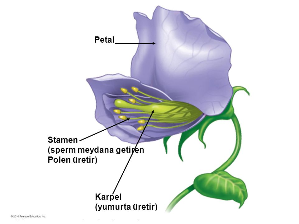 Petal Stamen (sperm meydana getiren Polen üretir) Karpel (yumurta üretir)