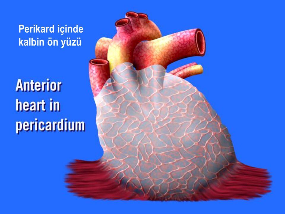 Perikard içinde kalbin ön yüzü