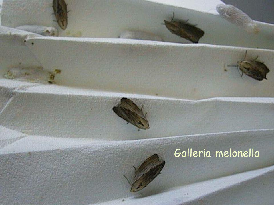 Galleria melonella