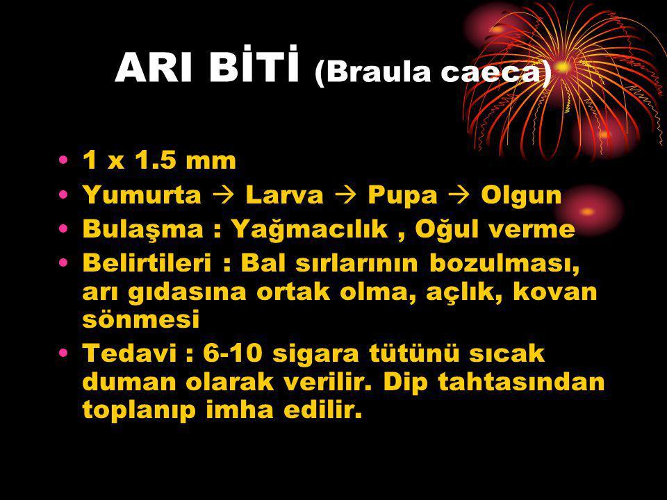 ARI BİTİ (Braula caeca)