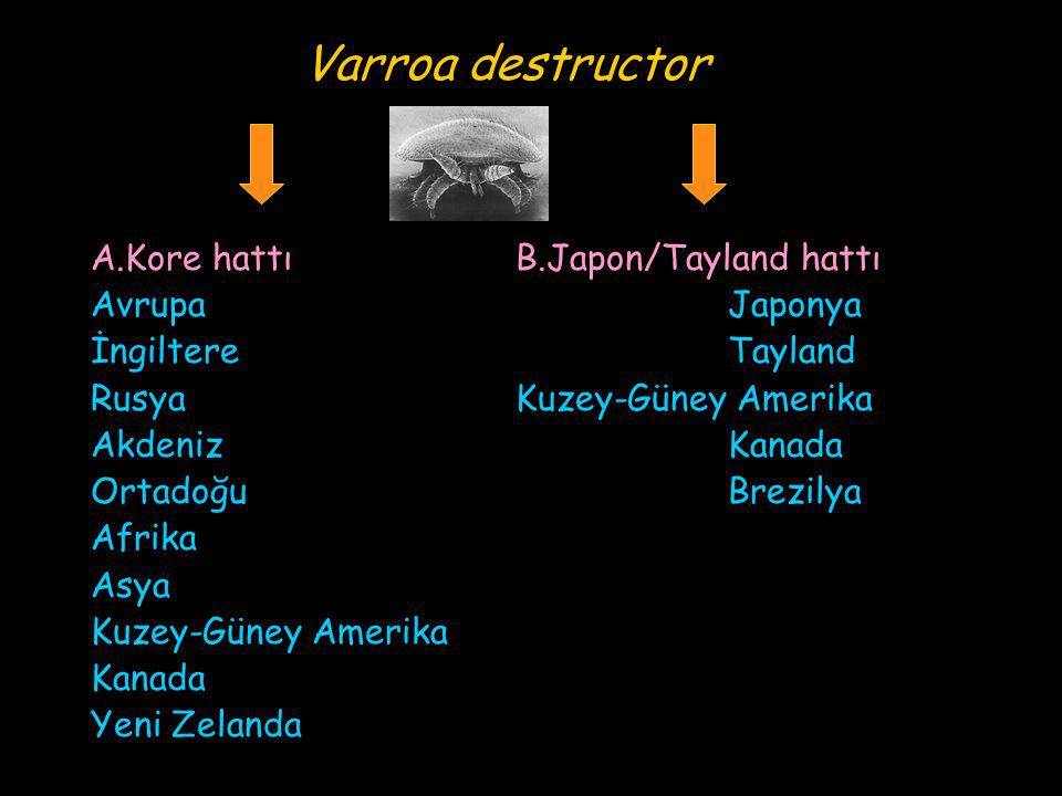 Varroa destructor A.Kore hattı B.Japon/Tayland hattı Avrupa Japonya