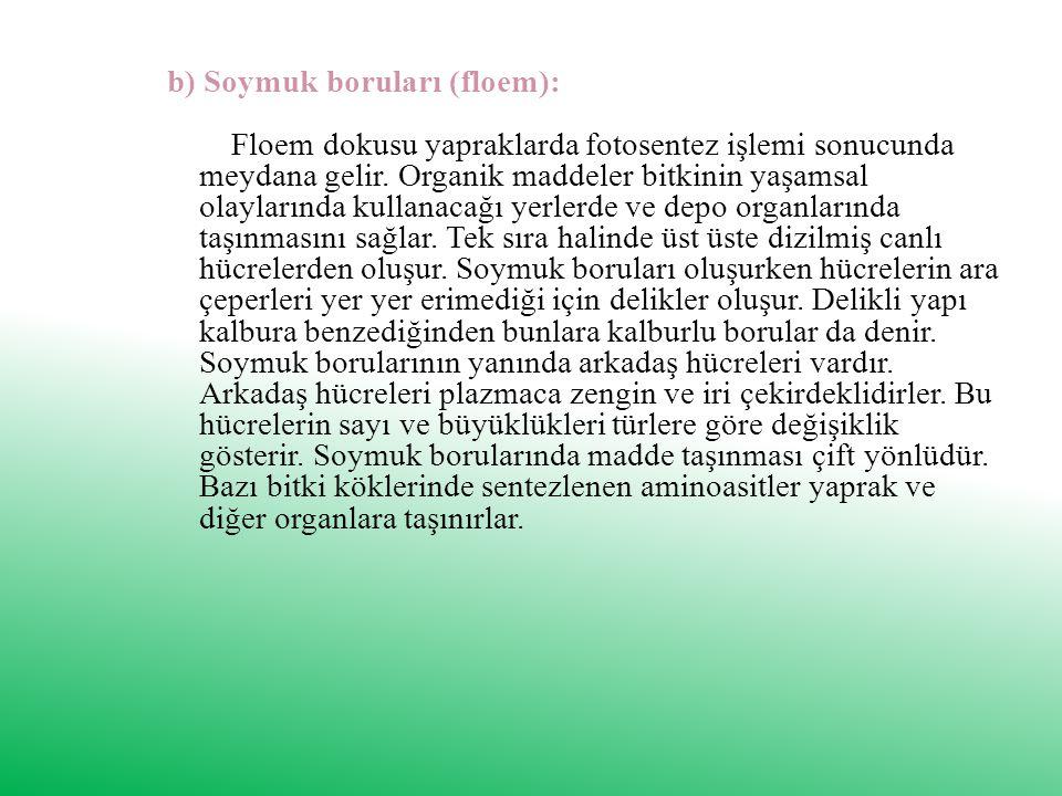 b) Soymuk boruları (floem): Floem dokusu yapraklarda fotosentez işlemi sonucunda meydana gelir.