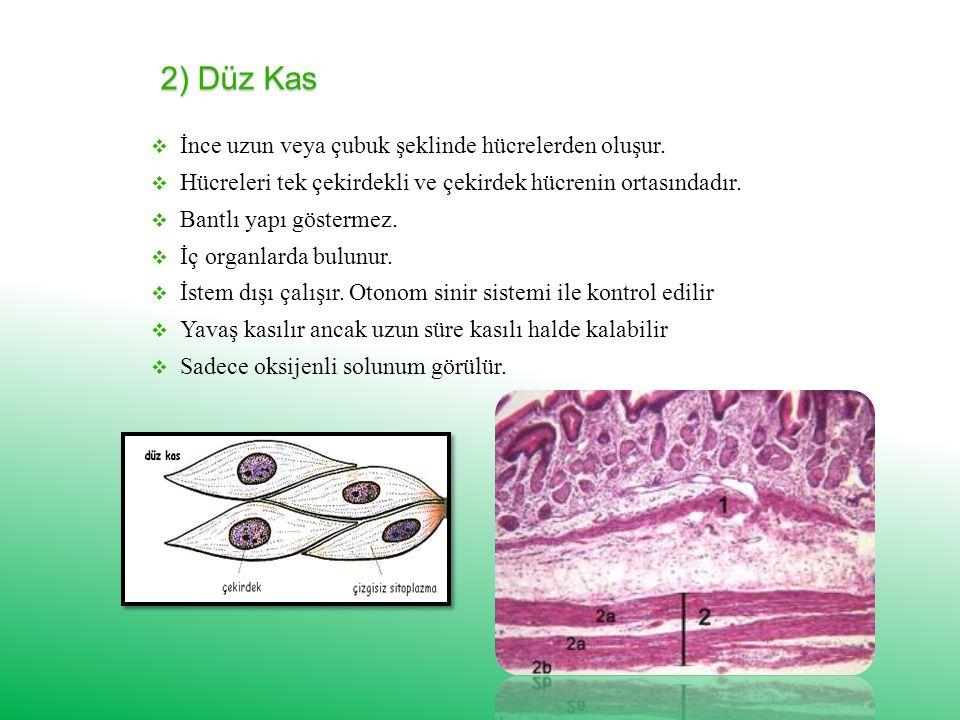 2) Düz Kas İnce uzun veya çubuk şeklinde hücrelerden oluşur.