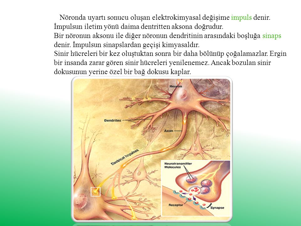 Nöronda uyartı sonucu oluşan elektrokimyasal değişime impuls denir