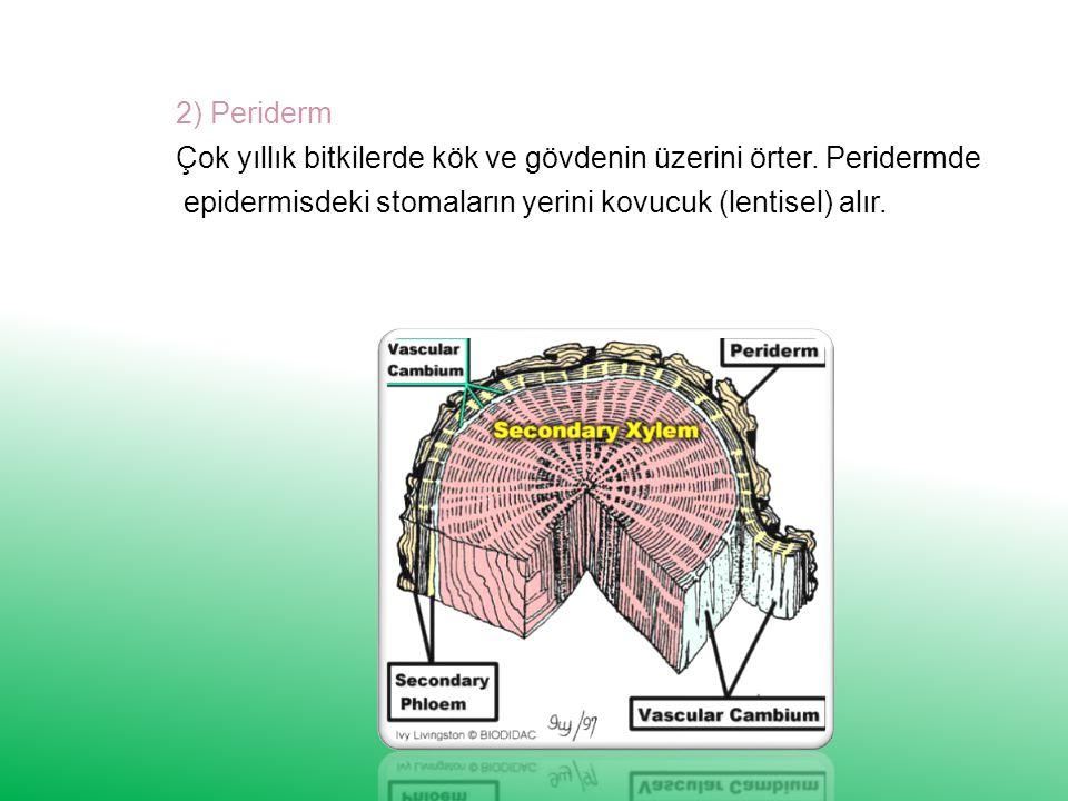 2) Periderm Çok yıllık bitkilerde kök ve gövdenin üzerini örter.