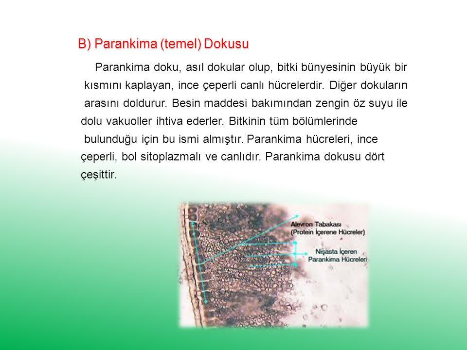 B) Parankima (temel) Dokusu