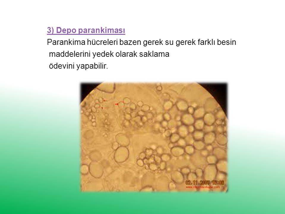 3) Depo parankiması Parankima hücreleri bazen gerek su gerek farklı besin. maddelerini yedek olarak saklama.