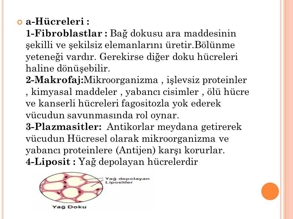 a-Hücreleri : 1-Fibroblastlar : Bağ dokusu ara maddesinin şekilli ve şekilsiz elemanlarını üretir.Bölünme yeteneği vardır.