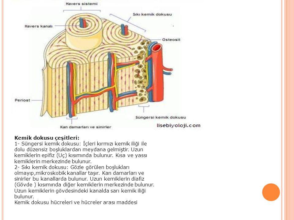 Kemik dokusu çeşitleri: 1- Süngersi kemik dokusu: İçleri kırmızı kemik iliği ile dolu düzensiz boşluklardan meydana gelmiştir. Uzun kemiklerin epifiz (Uç) kısımında bulunur. Kısa ve yassı kemiklerin merkezinde bulunur. 2- Sıkı kemik dokusu: Gözle görülen boşlukları olmayıp,mikroskobik kanallar taşır. Kan damarları ve sinirler bu kanallarda bulunur. Uzun kemiklerin diafiz (Gövde ) kısımında diğer kemiklerin merkezinde bulunur. Uzun kemiklerin gövdesindeki kanalda sarı kemik iliği bulunur.