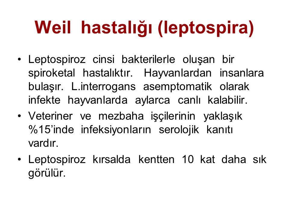Weil hastalığı (leptospira)