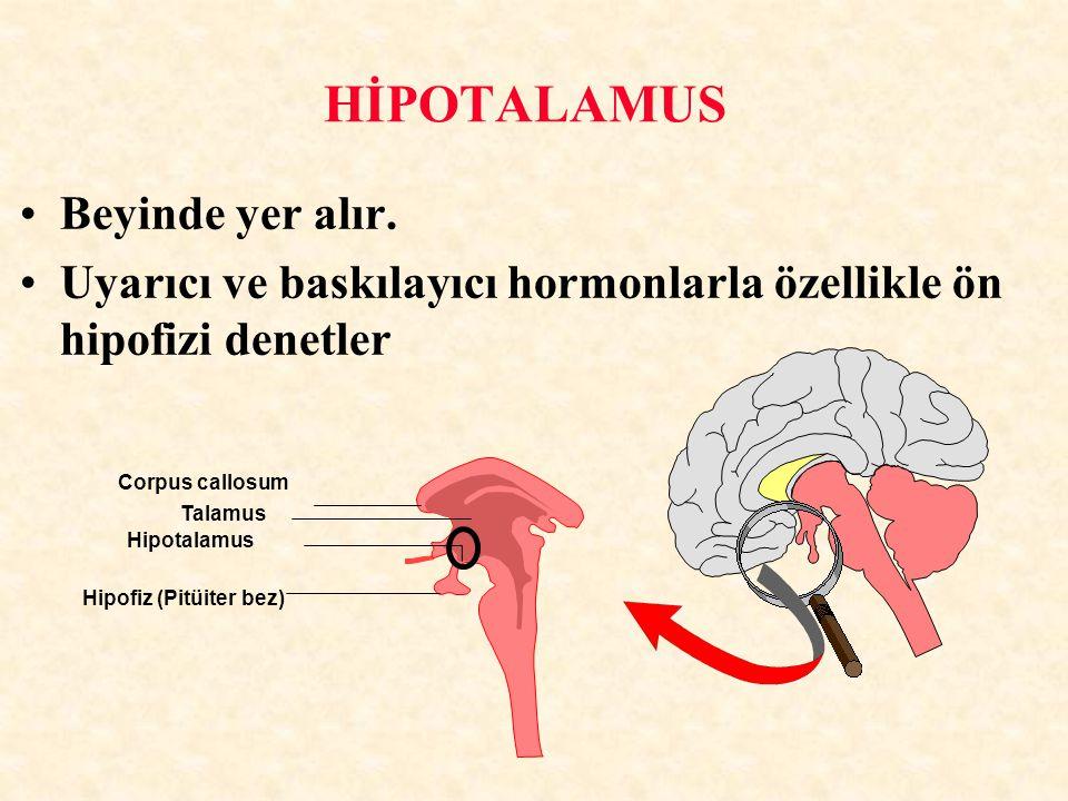 HİPOTALAMUS Beyinde yer alır.