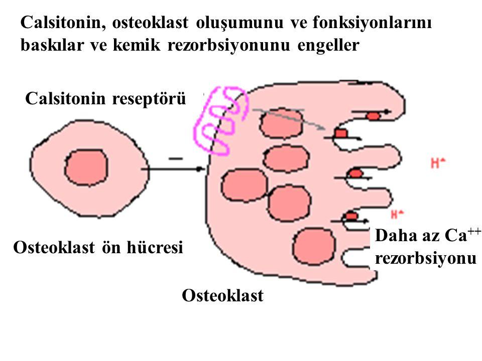 Calsitonin, osteoklast oluşumunu ve fonksiyonlarını