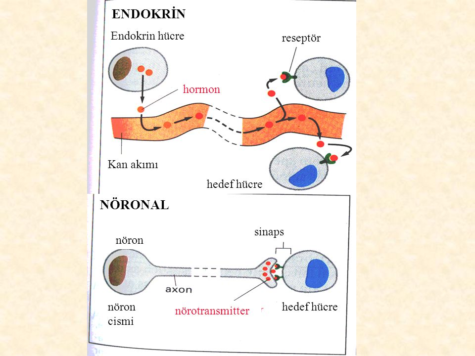 ENDOKRİN NÖRONAL Endokrin hücre reseptör hormon Kan akımı hedef hücre