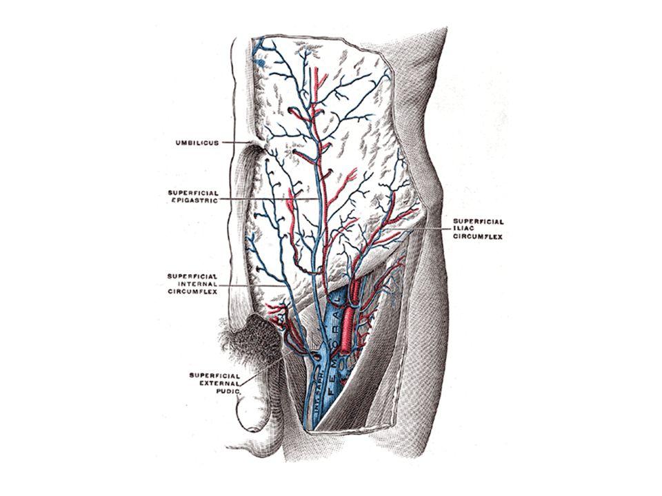 Nefrolojide klinik uygulamalı anatomi, vena epigastrica süperficialis.