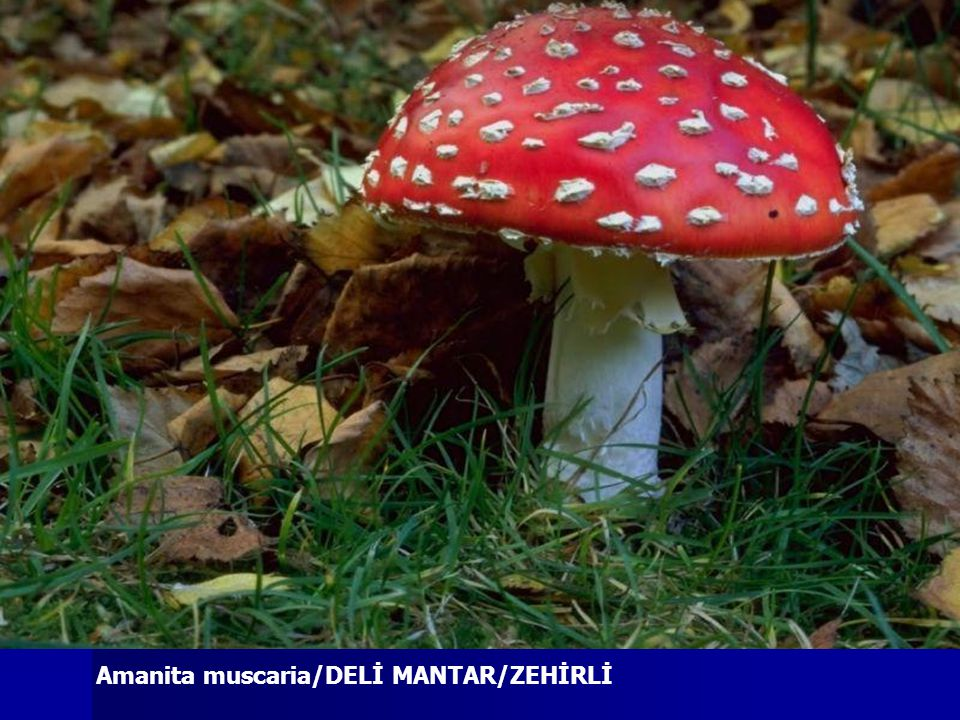 Amanita muscaria/DELİ MANTAR/ZEHİRLİ