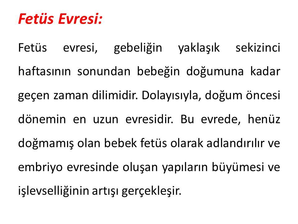 Fetüs Evresi: