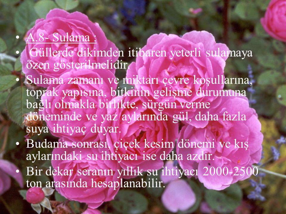 A.8- Sulama : Güllerde dikimden itibaren yeterli sulamaya özen gösterilmelidir.