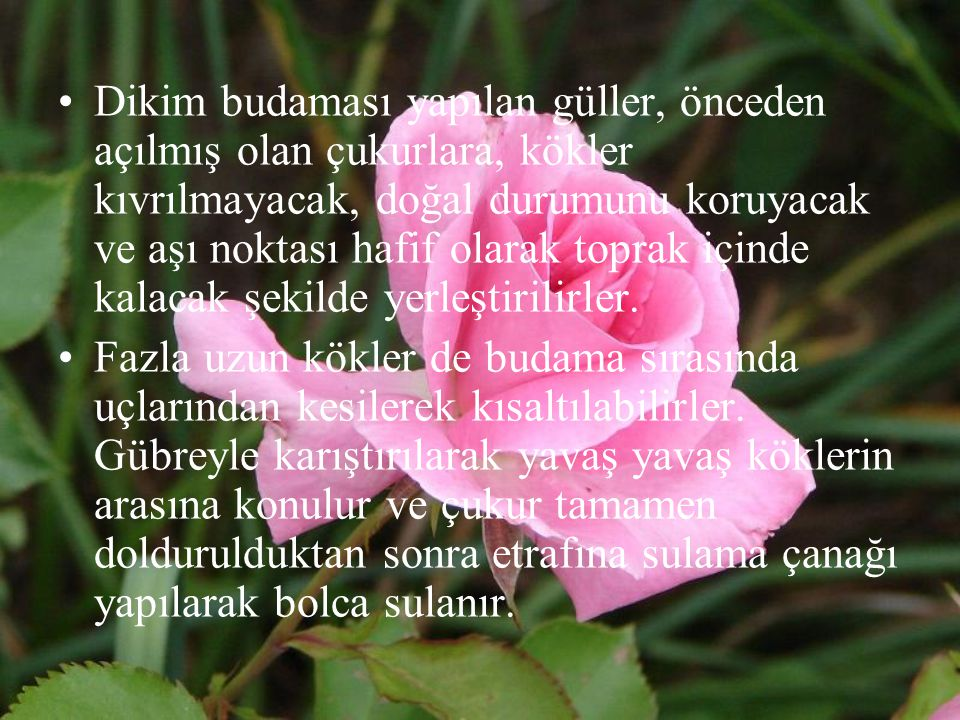 Dikim budaması yapılan güller, önceden açılmış olan çukurlara, kökler kıvrılmayacak, doğal durumunu koruyacak ve aşı noktası hafif olarak toprak içinde kalacak şekilde yerleştirilirler.