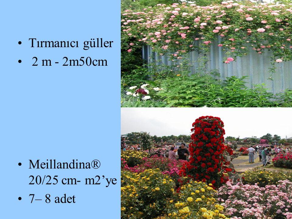 Tırmanıcı güller 2 m - 2m50cm Meillandina® 20/25 cm- m2'ye 7– 8 adet
