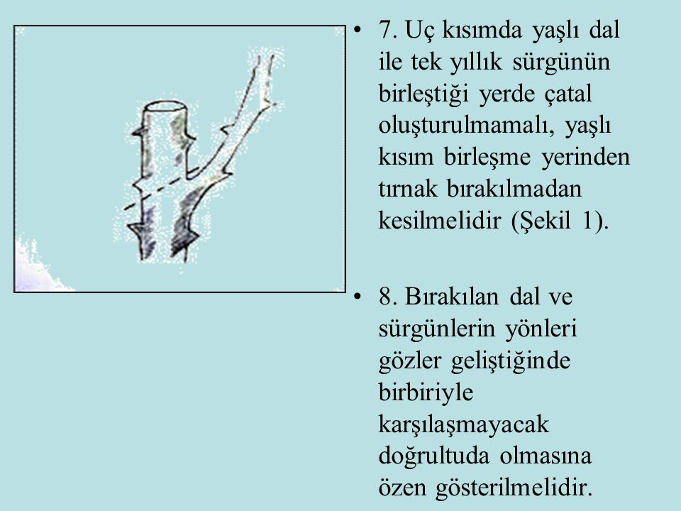 7. Uç kısımda yaşlı dal ile tek yıllık sürgünün birleştiği yerde çatal oluşturulmamalı, yaşlı kısım birleşme yerinden tırnak bırakılmadan kesilmelidir (Şekil 1).