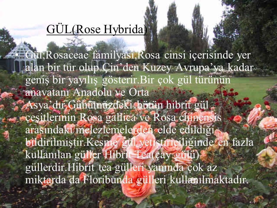 GÜL(Rose Hybrida)