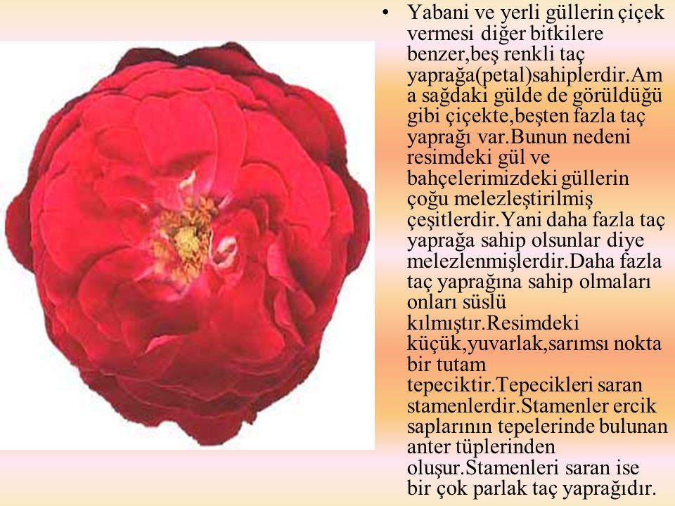 Yabani ve yerli güllerin çiçek vermesi diğer bitkilere benzer,beş renkli taç yaprağa(petal)sahiplerdir.Ama sağdaki gülde de görüldüğü gibi çiçekte,beşten fazla taç yaprağı var.Bunun nedeni resimdeki gül ve bahçelerimizdeki güllerin çoğu melezleştirilmiş çeşitlerdir.Yani daha fazla taç yaprağa sahip olsunlar diye melezlenmişlerdir.Daha fazla taç yaprağına sahip olmaları onları süslü kılmıştır.Resimdeki küçük,yuvarlak,sarımsı nokta bir tutam tepeciktir.Tepecikleri saran stamenlerdir.Stamenler ercik saplarının tepelerinde bulunan anter tüplerinden oluşur.Stamenleri saran ise bir çok parlak taç yaprağıdır.