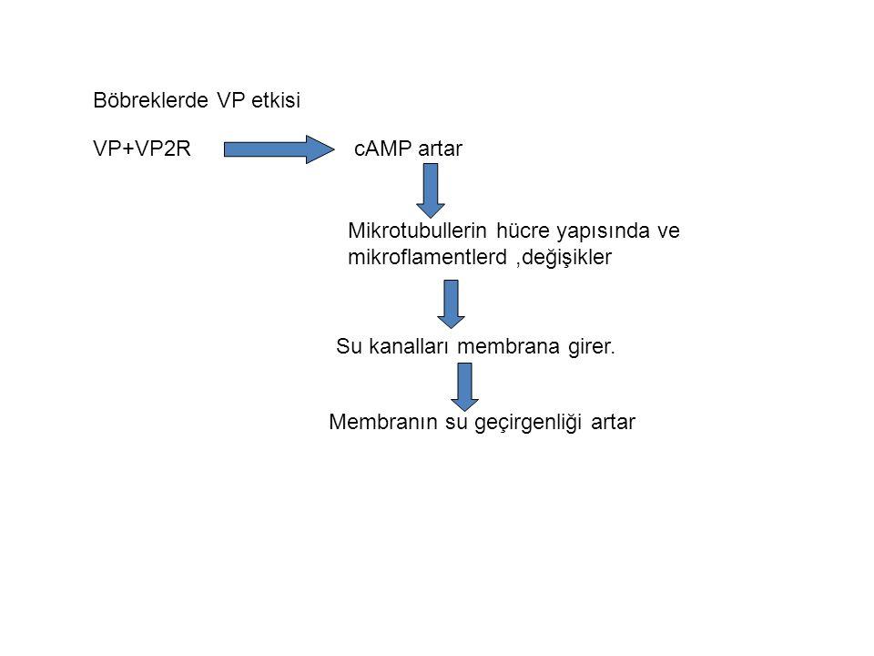 Böbreklerde VP etkisi VP+VP2R. cAMP artar. Mikrotubullerin hücre yapısında ve mikroflamentlerd ,değişikler.